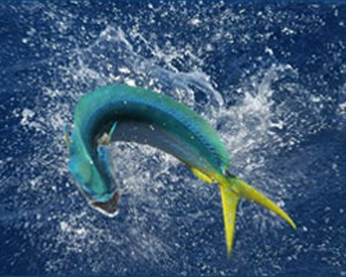 fish splashing in the water
